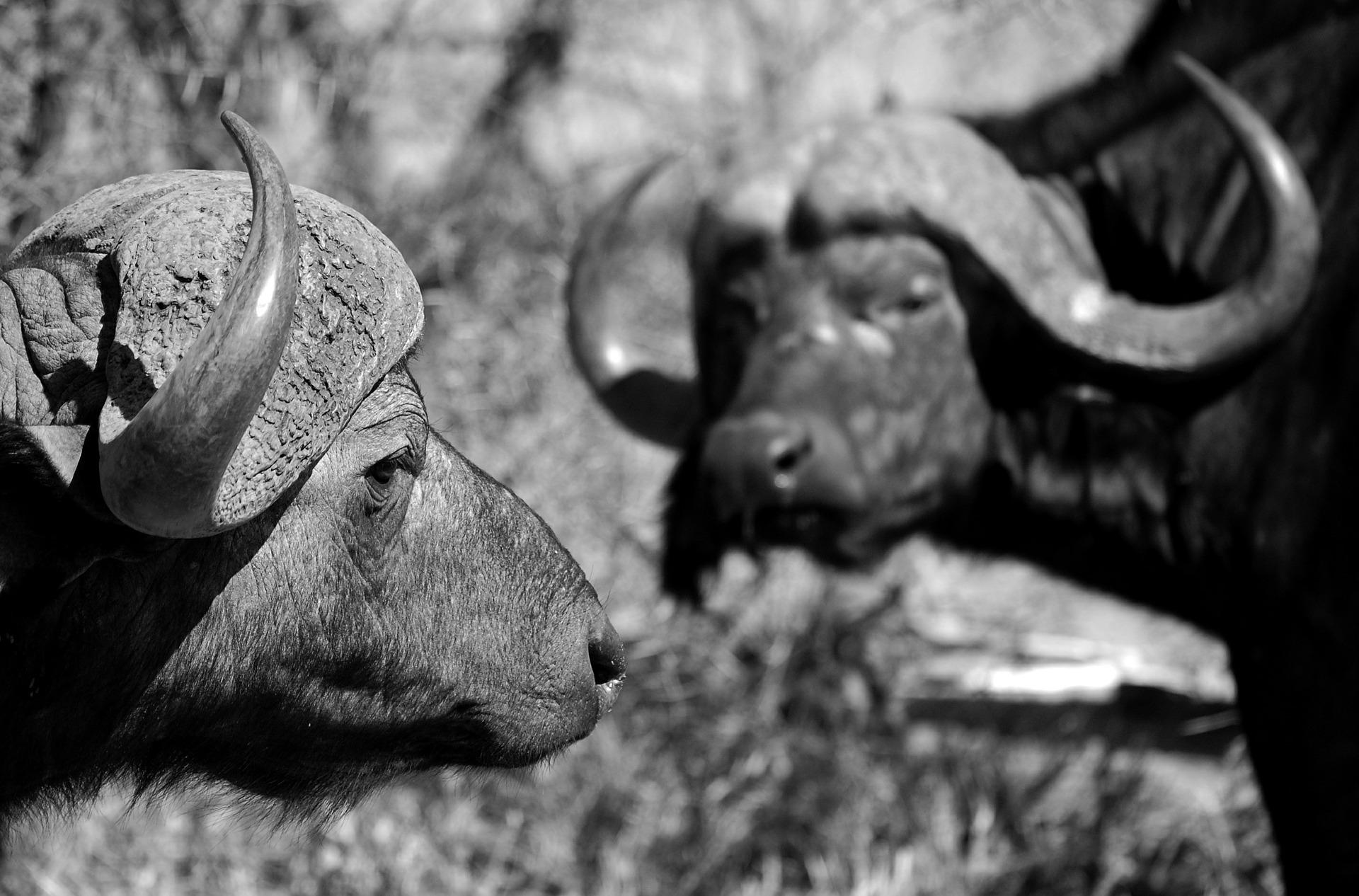 buffalo-444644_1920